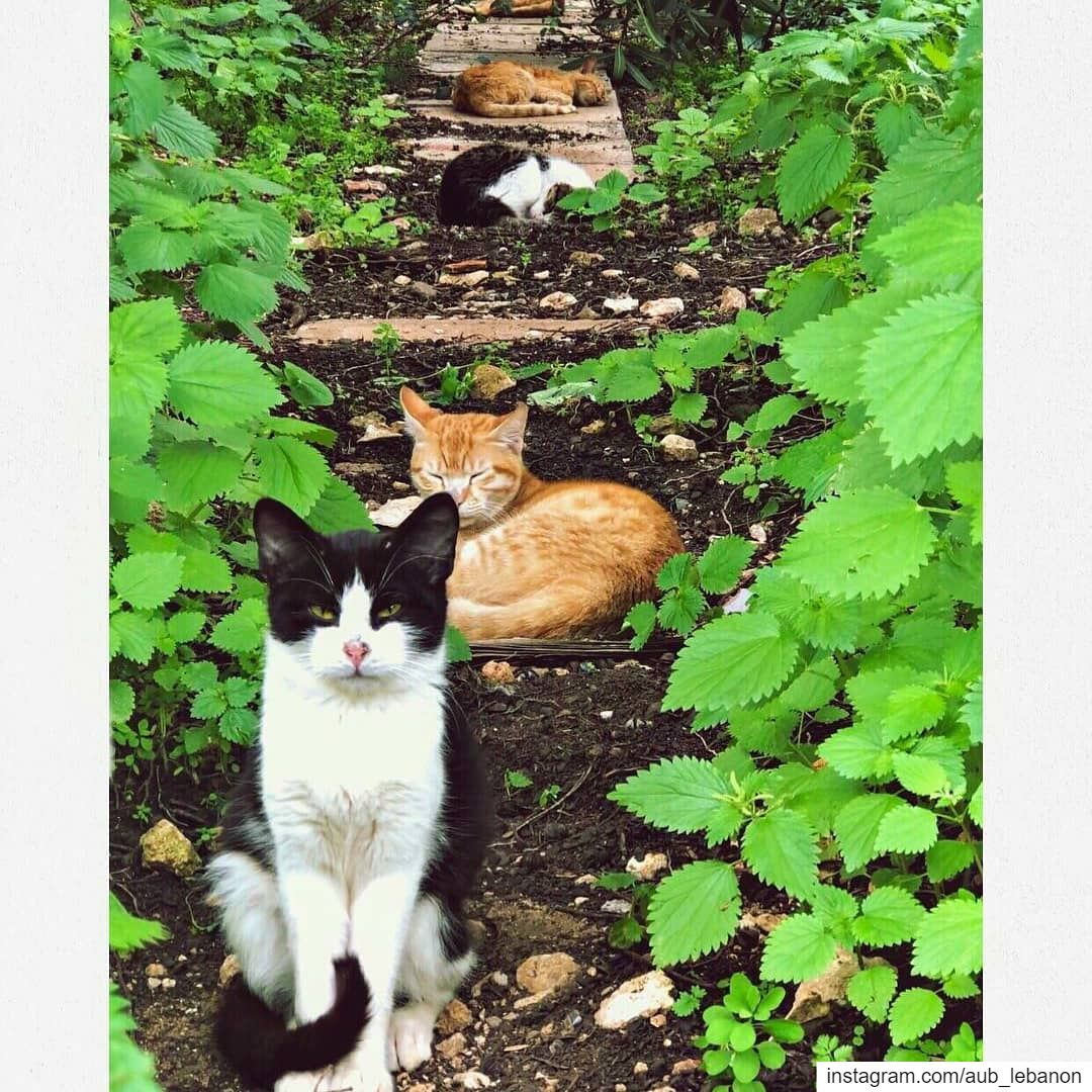 It's important to get your cats in a row. @aub_lebanon understands this. ...
