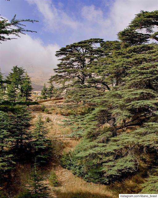 🇱🇧🇧🇷 Podíamos passar horas admirando os magníficos cedros do Líbano.... (Cedars of God)