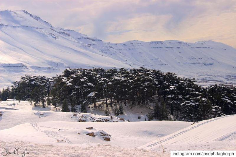 🏔___________________________________________________________... (The Cedars of Lebanon)