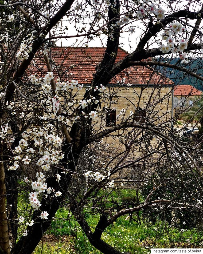 Blossoms despite the coming storm.  blossoms  trees  lebanese ...