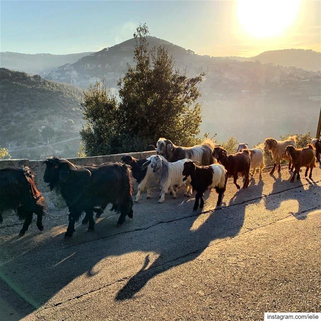 Afternoon walks...  lebanon  baskinta  livelovelebanon  goats  🐐 ... (Baskinta, Lebanon)