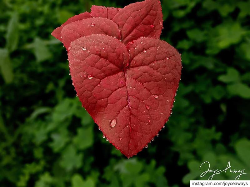 Be-Leaf in LOVE ❤️🍀 .. leaf  heart  red  vessels  heartshaped  leaves ... (American University of Beirut (AUB))