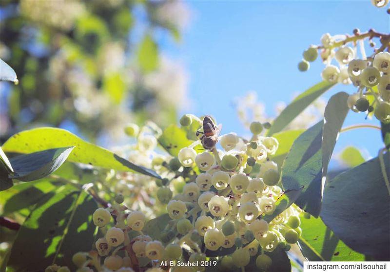tb anan blossom southlebanon bee flowers colorful livelovelebanon ... (Anâne, Al Janub, Lebanon)