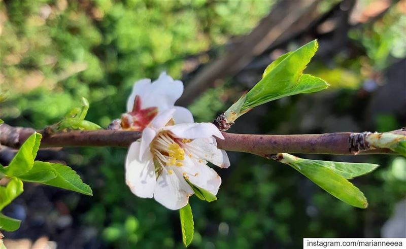 Spring blossom 🌸... (El Zaaïtré, Mont-Liban, Lebanon)