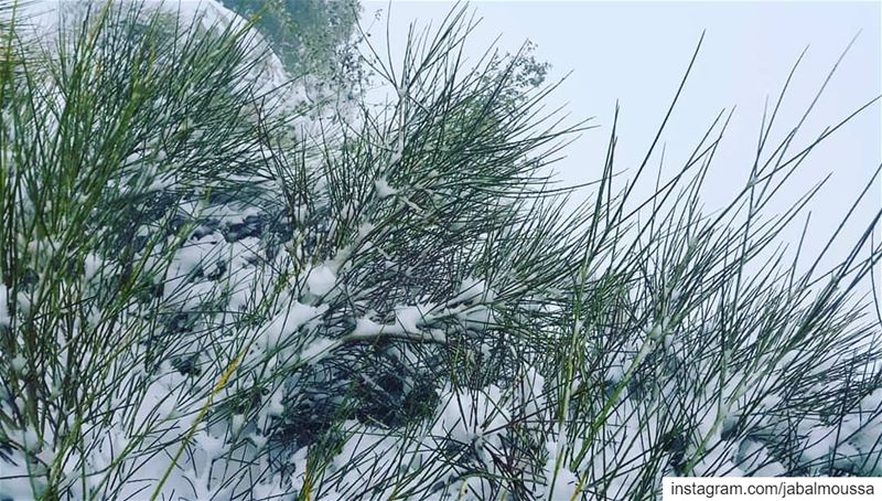 """Snow, Snoww, Snowww"". JabalMoussa unescomab unesco biospherereserve ... (Jabal Moussa Biosphere Reserve)"