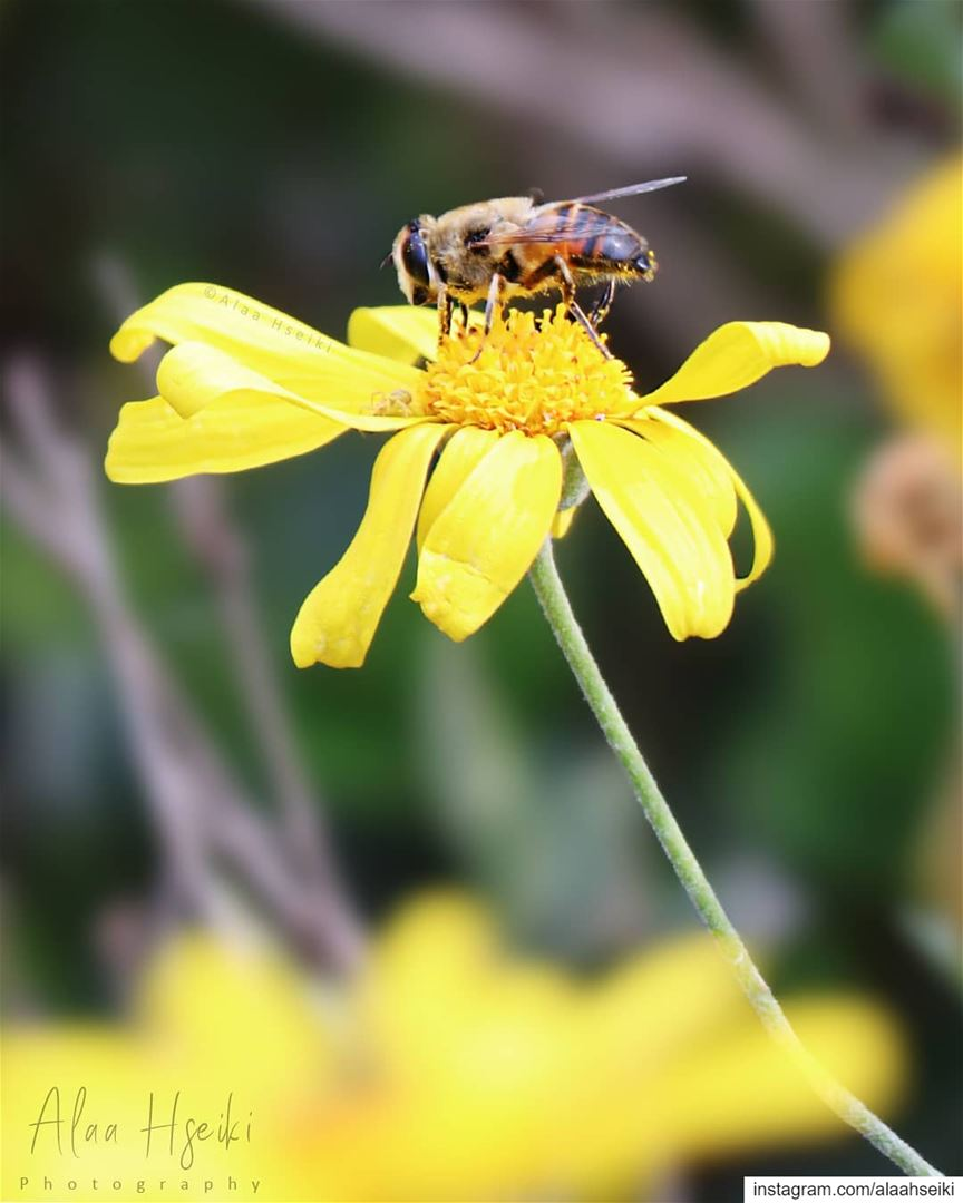 Bee Yourself 🐝... Hseiki bees honey bee beekeeping nature ... (Baïssoûr, Mont-Liban, Lebanon)