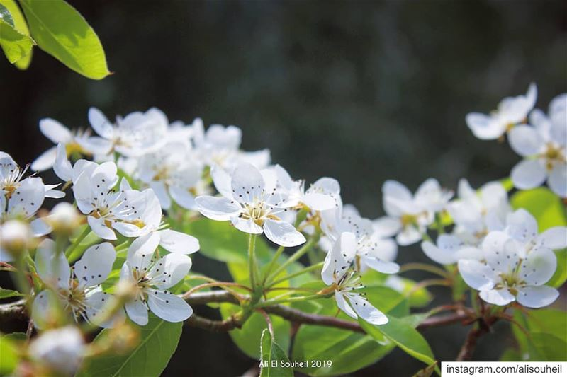 tb  blossom  white  flower  tree  closeup  nature  mountlebanon  colorful... (El-Mukhtarah, Mont-Liban, Lebanon)