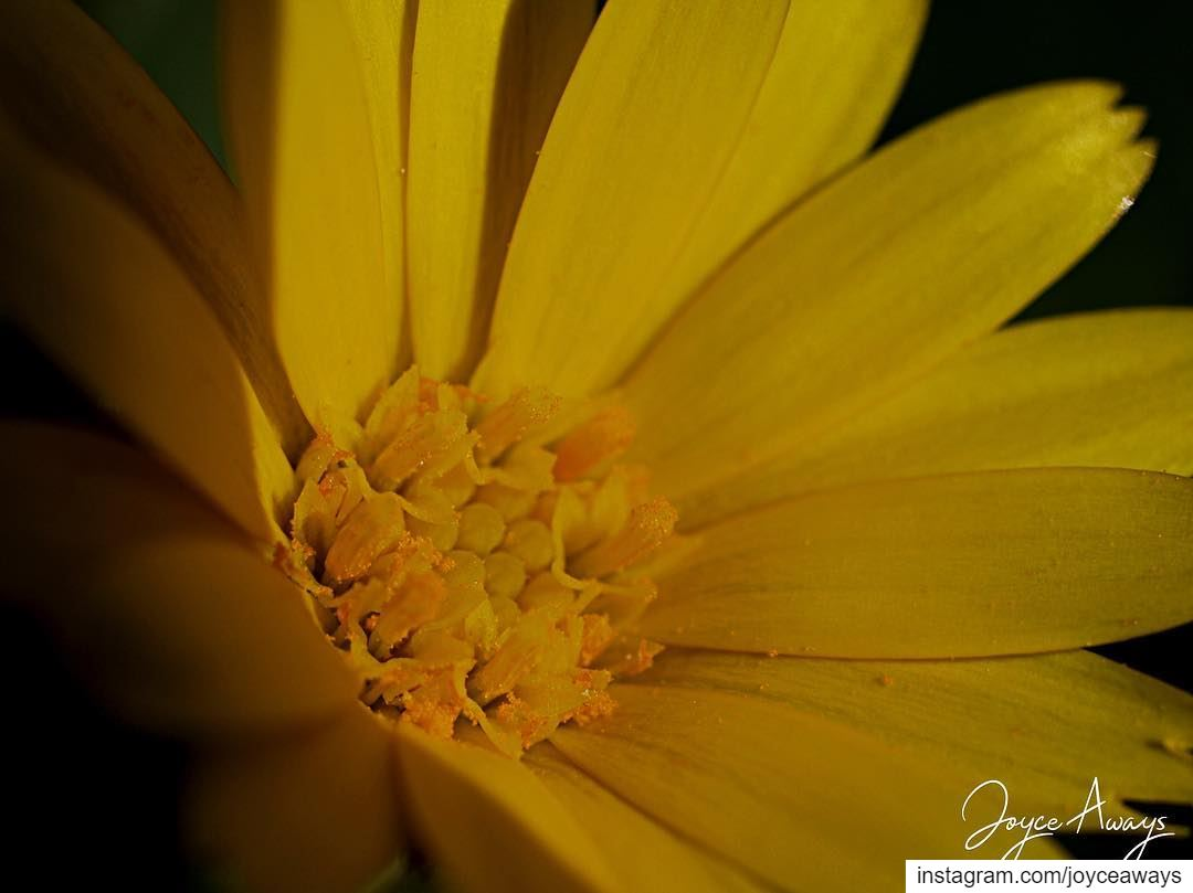 """""""The yellow glistens.It glistens with various yellows, Citrons, ... (Chemlane, Mont-Liban, Lebanon)"""