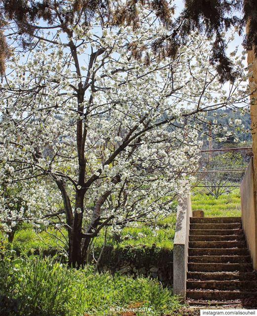 tb mazraatettefah northlebanon tree spring blossom nature ... (Mazraat Et Teffâh, Liban-Nord, Lebanon)