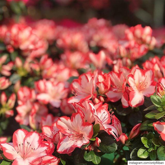 🌷The Byblos Flower Market🌷~ 🌸Le Marché Aux Fleurs Byblos 🌸 ~~~~~~~~~~~~ (Byblos, Lebanon)