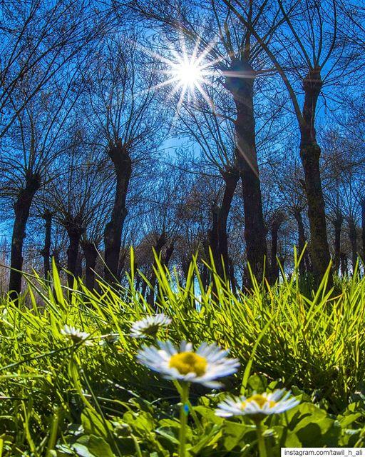 Spring Shine ☀️ 💮---- nature naturephotography spring trees ... (Taanayel- Bekaa)