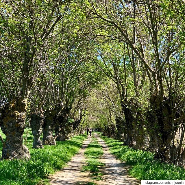 Listen to the magic whispers of old trees 💚🙌🏻 magicalplace greenworld ... (`Ammiq, Béqaa, Lebanon)