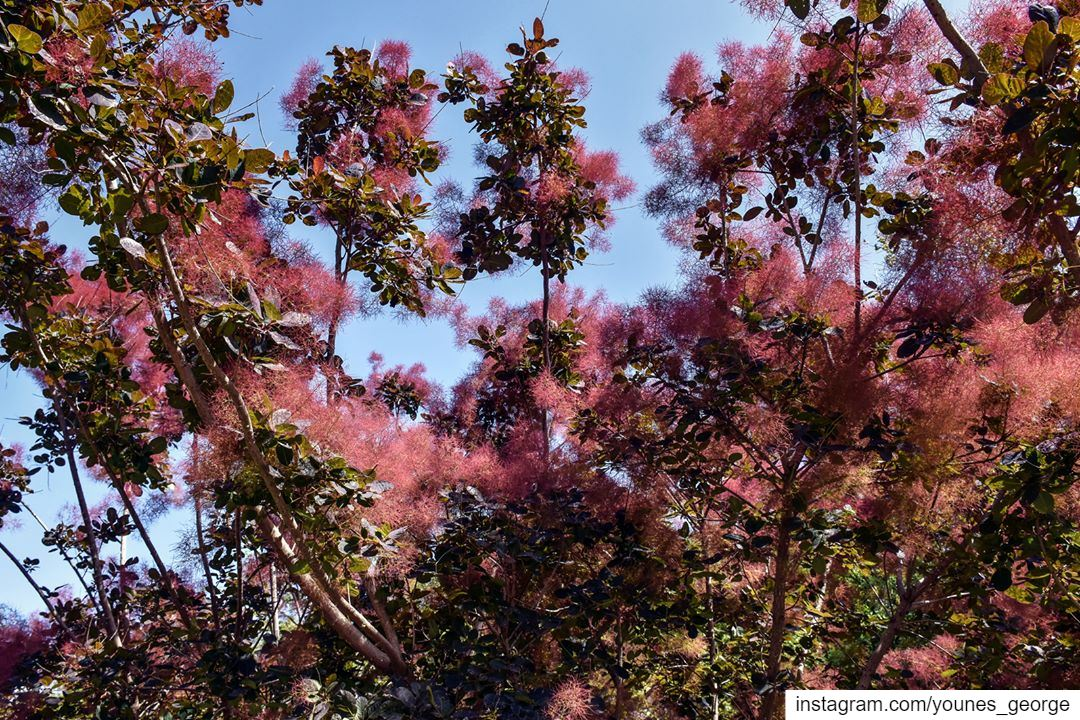 The Colors of Spring [I've only seen this tree in bloom once. Nobody I... (Lebanon)