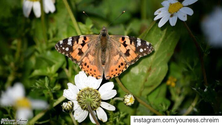 Vanessa butterfly butterfly vanessa vanessabutterfly spring migration...