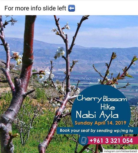 nabiayla cherry cherryblossom spring blossom HkiliAanBaladi ...