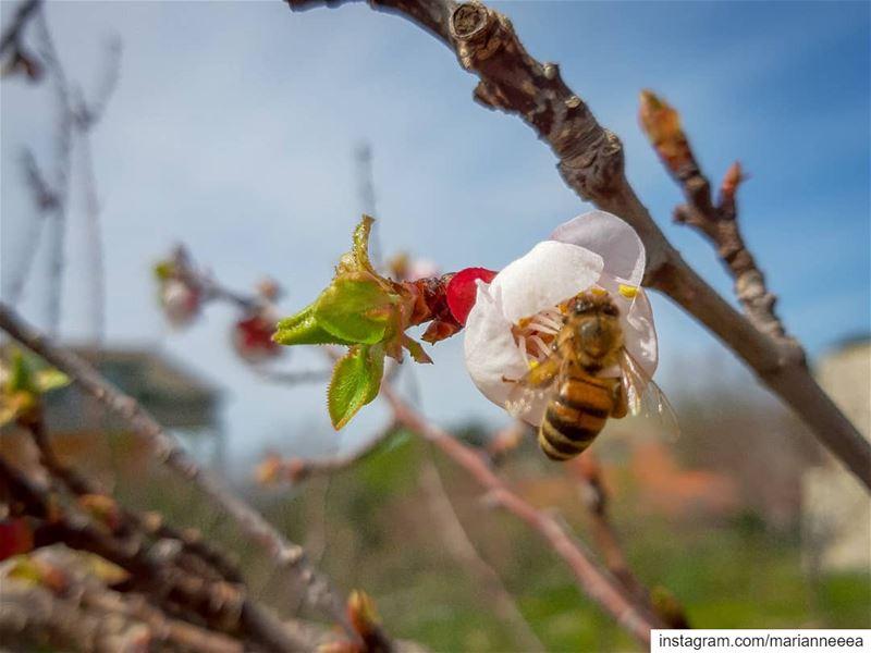 Honey Bee 🐝💙 (El Zaaïtré, Mont-Liban, Lebanon)