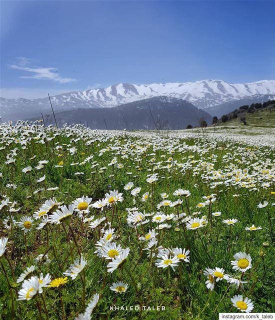 الأبيض فوق الجبال شتاء، وعلى الأرض ربيع ♥️ مشمش_عكار درب_عكار ...