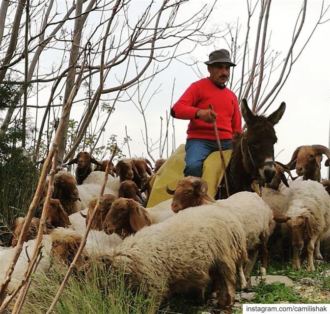 lebanon mountlebanon livelovelebanon nature donkey lamb mutton sheep... (Chnanhaïr, Mont-Liban, Lebanon)