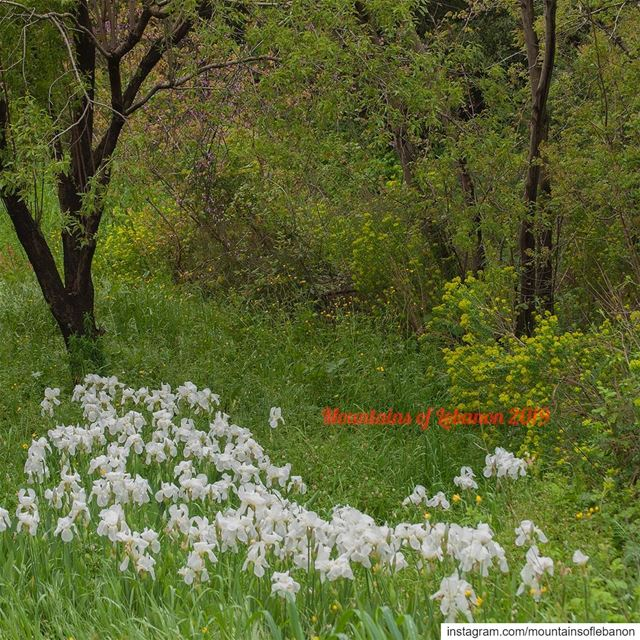 Field of Wild white Iris... flowers iris wildflowers flowerfield ...