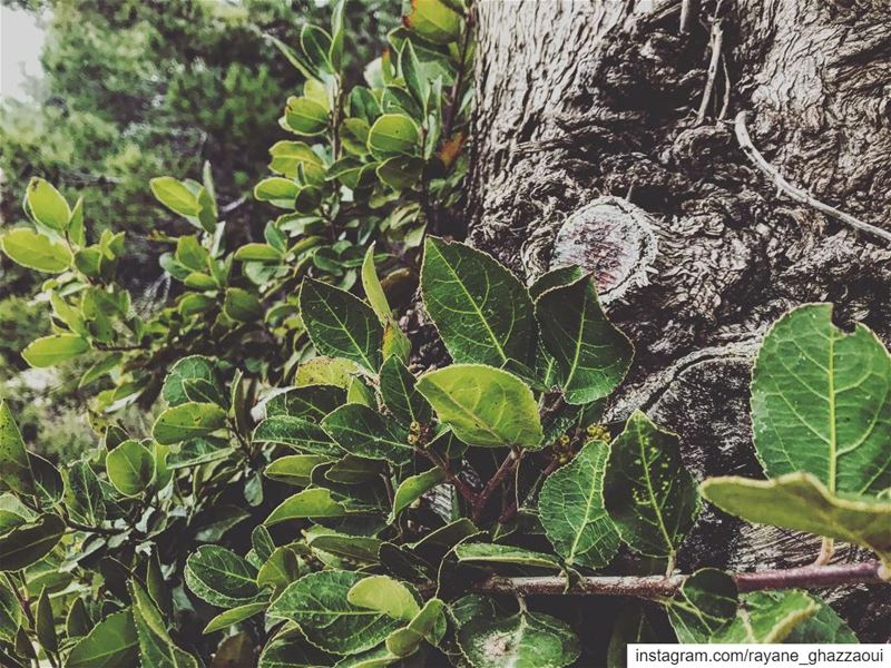 Laurel paper 🍃 natureoftheplanet1 proudlylebanese lebanoninapicture ...