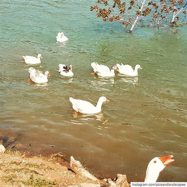 Admire the graceful and beautiful swans 🦢 swan swanlake... (Deïr Taanâyel, Béqaa, Lebanon)