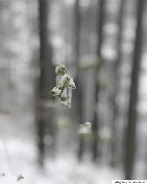 Spring 3........ snow wild forest tree cedars hiking art ... (Shouf Cedar Ain Zhalta)