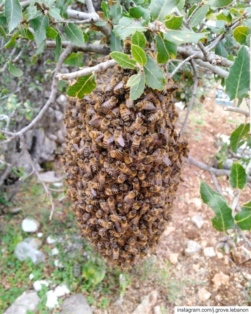 📷 Spotted on an oak tree: the first HoneyBee Swarm catch of the season �