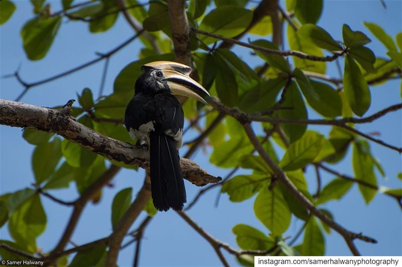 The  hornbill ...local bird of  yaonoi  phuket  thailand  asia  birds ...
