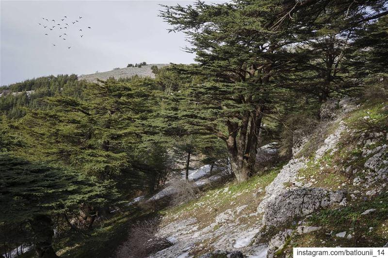 Shouf biosphere reserve 🌲🍃───────────────── shouf ... (Maaser El Shouf Cedar Reserve محمية ارز معاصر الشوف)
