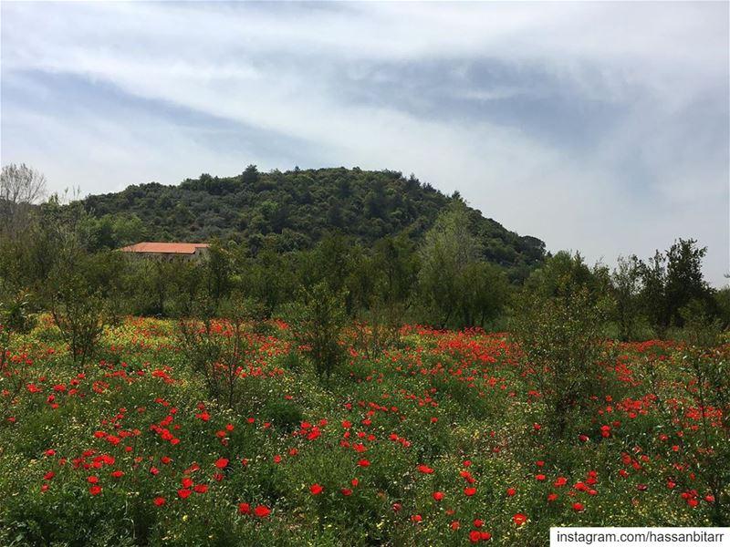 🌹...... wearelebanon livelovelebanon proudlylebanese prolebanon... (Jebrâyel, Liban-Nord, Lebanon)