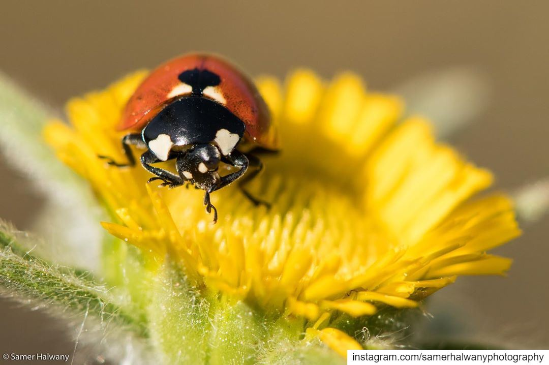 morning workout...decorating the flowers a redspot the ladybug in its...