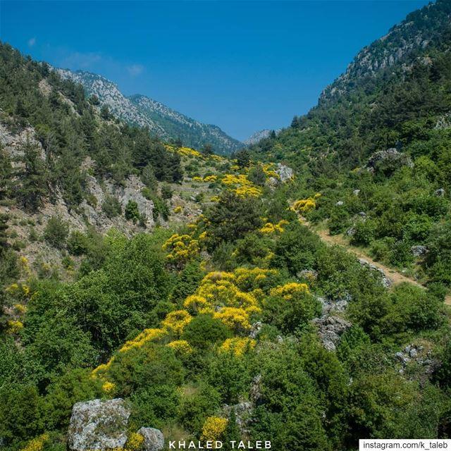 سيطر الوزّال بلونه ورائحته العطرية الجميلة على وادي حقل الخربة في بلدة مشم