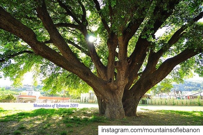 It is said to be one of the oldest and largest oak trees in the country!... (Khirbet Qanafâr, Béqaa, Lebanon)