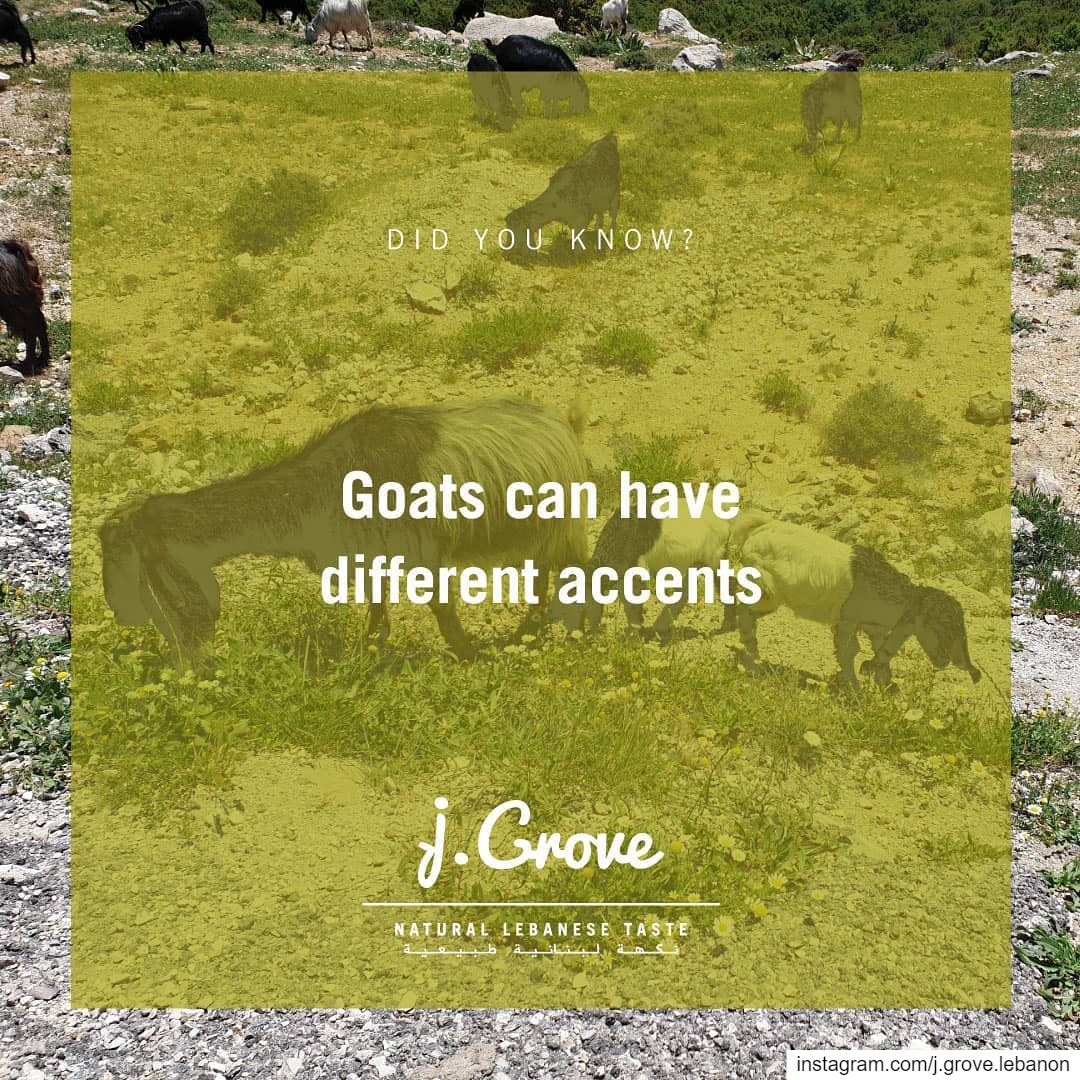 Scientists found that young goats were able to pick up an accent and...