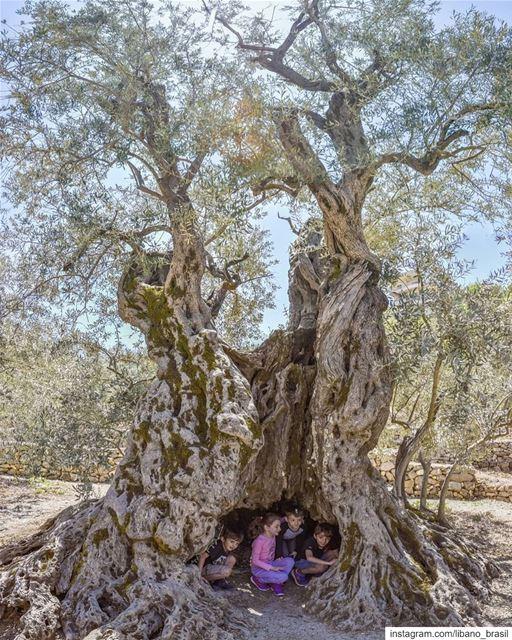 🇱🇧🇧🇷 Oliveira de 6 mil anos. A mais antiga do mundo e um dos muitos... (Bchaalé, Liban-Nord, Lebanon)