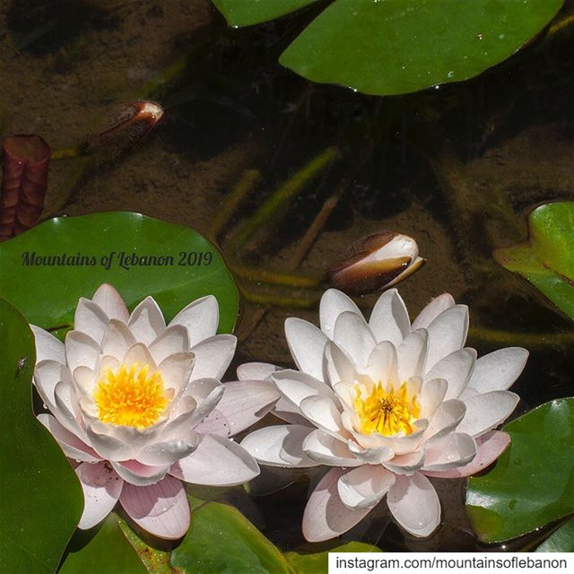 Water lilies in a pond. Did you know that these flowers close for the...