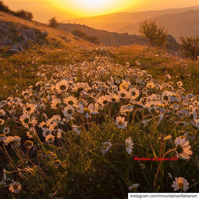 Flower sunset burning out roadtrip explore livelovelebanon ... (Zaarour,Koukh L Sabaya)