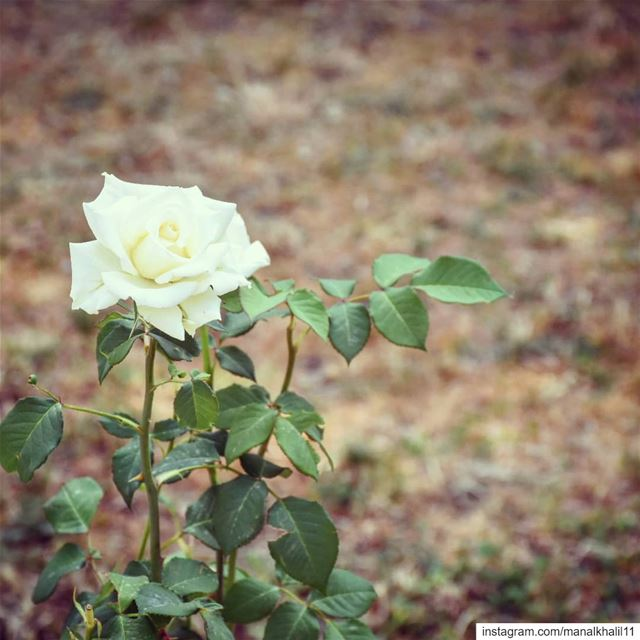Left alone... rose  nature  lebanon  flower  photography  picoftheday ...