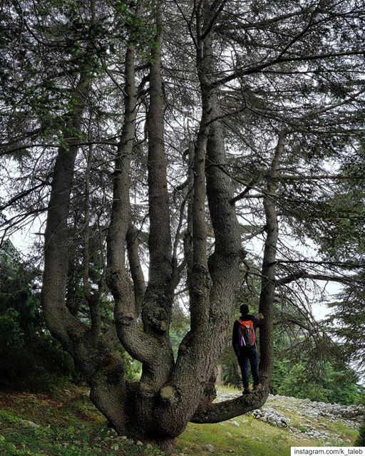 أرز مشمش_عكار، بعض أشجاره ترتفع فوق ال ٢٠ متراً ويتجاوز محيط بعضها ال ١٠ ا