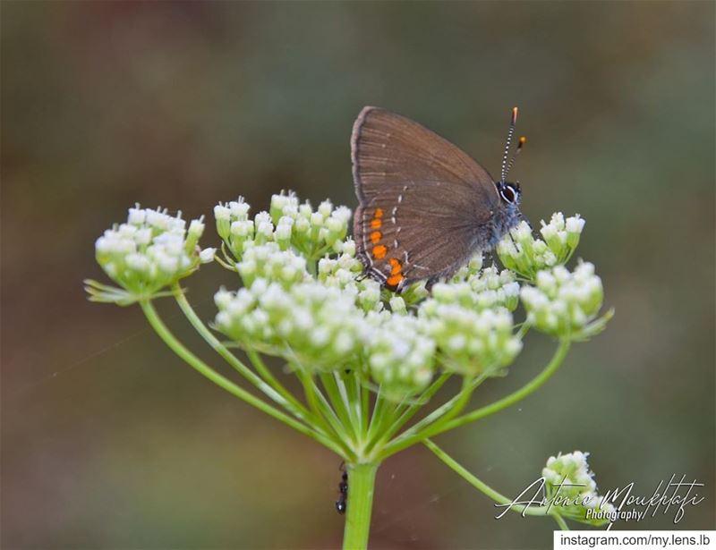 🦋 ehden reservehorshehden lebanon north nikonlb ... (Horsh Ehden Nature Reserve)