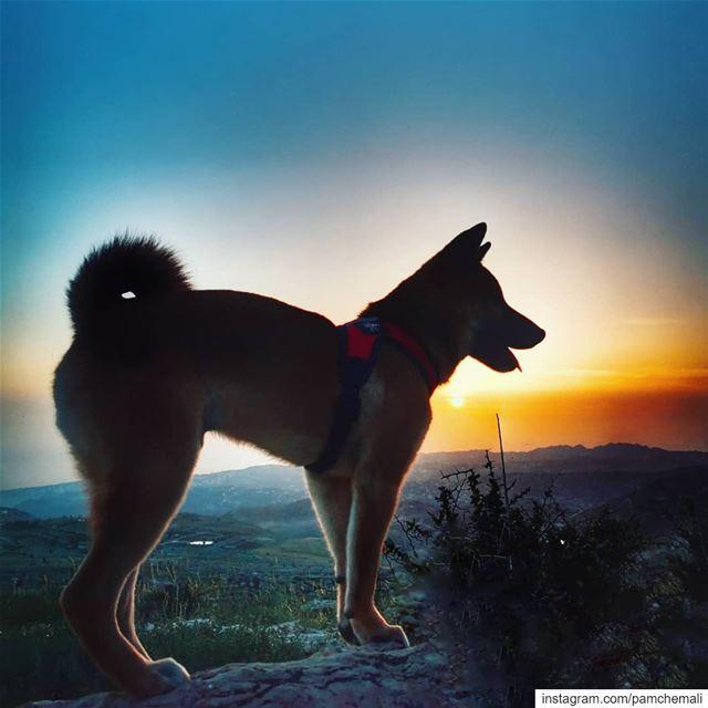 sunsets and Jäger 🔥🐶The Shiba Inu dog breed was originally bred to... (Qanat Bakish, Mont-Liban, Lebanon)