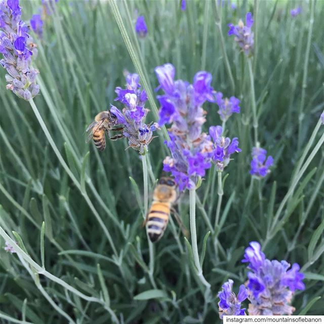 Photobombed by another Bee🤷🏽‍♂️!feasting on Lavenders... Summer Vibes.... (Kleiat)