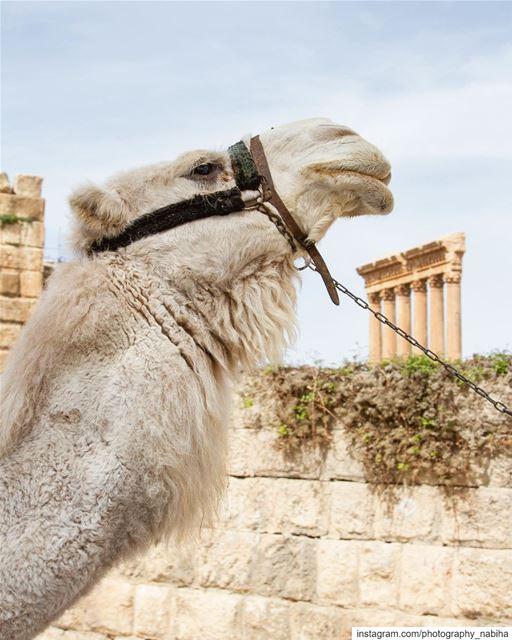 Baalbek camel beirut cloud sour baalbeck livelovebaalbeck sun ...