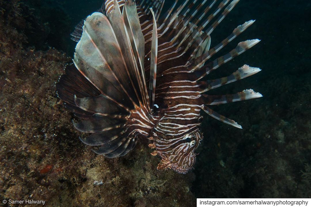 A name that says it all: The Lionfish!Shot in beirut lebanon ...