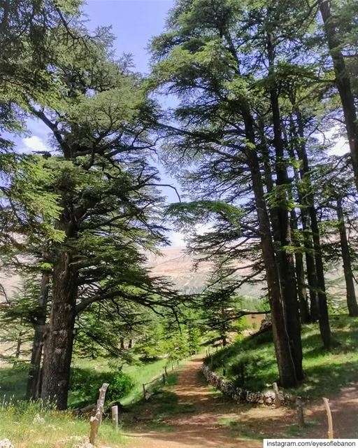 صباح الخير من غابة الأرزCredits to @ajjoun1 ・・・Our paradise 🏞........ (Cedars of God)