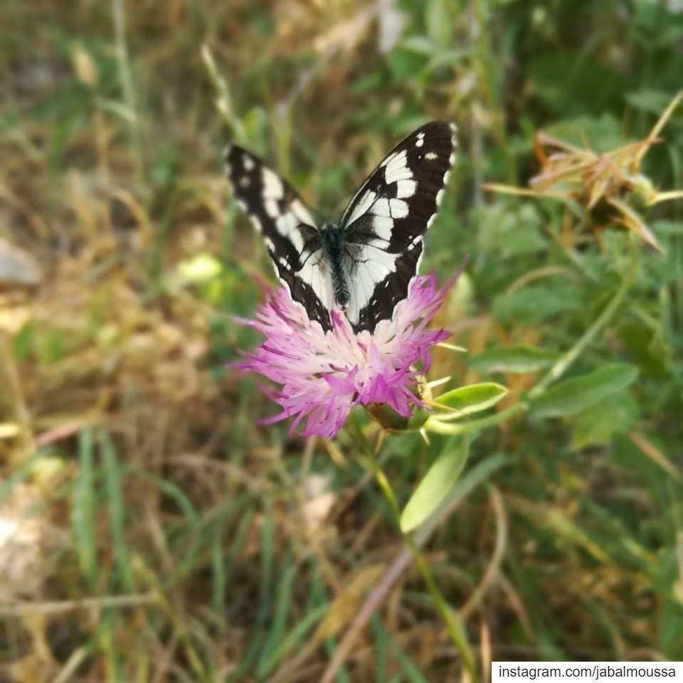 Butterflies... Flowers that fly! 🦋 JabalMoussa unesco unescomab ... (Jabal Moussa Biosphere Reserve)