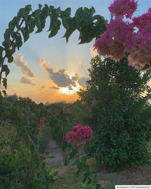 🌸 🌅 🌸.. sunset view flowers picoftheday instapic lebanon beirut... (Saïda, Al Janub, Lebanon)