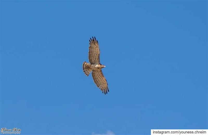 falcon bird nature southlebanon houninealfawka lebanon sky ...