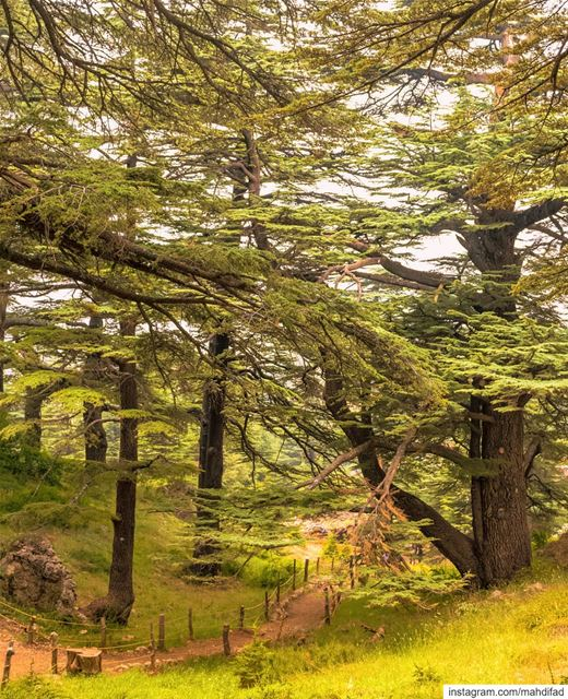 cedarsofgod cedars sunnyday mountains lebanon Pysglb Nature Landscape... (Cedars of God)