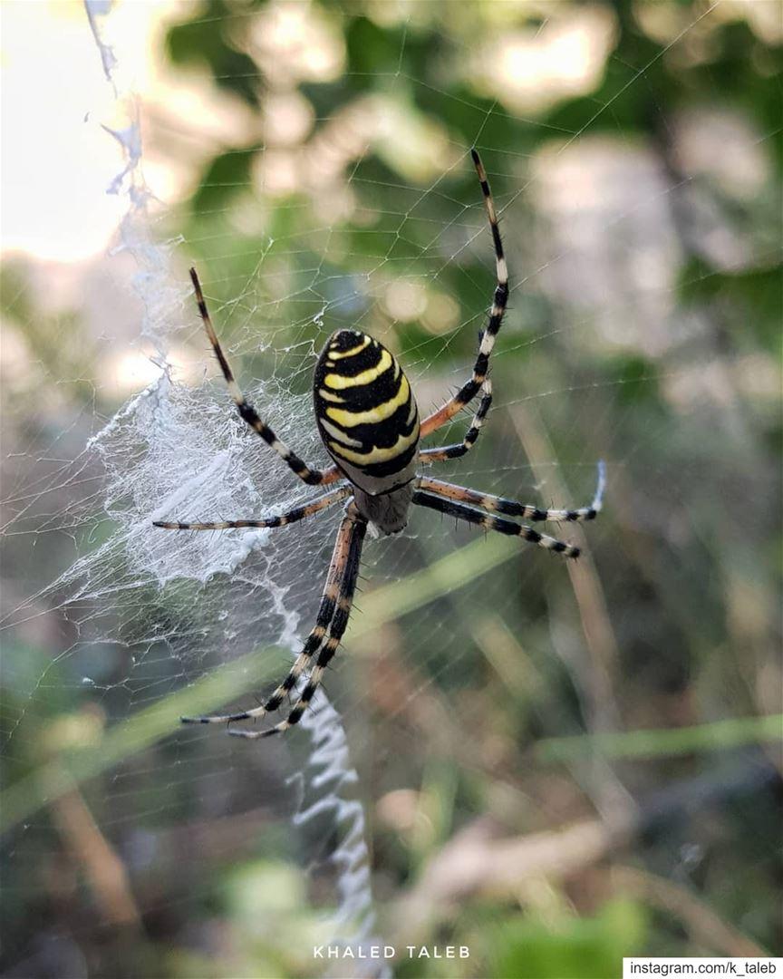 انثى عنكبوت الدبور (wasp spider) او عنكبوت الحدائق ذو الشباك الكبير الاسم